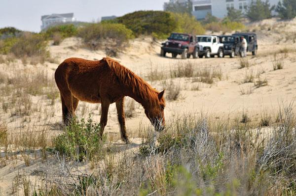 Carova wild horses